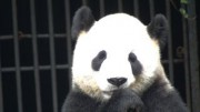hear-the-sounds-of-a-baby-giant-panda-bear-in-china_1737633
